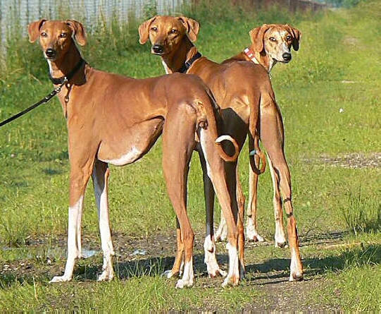 1000 Images About Dog Breeds Rare Amp Unusual On