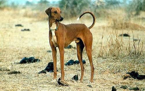 Azawakh Protector Dog